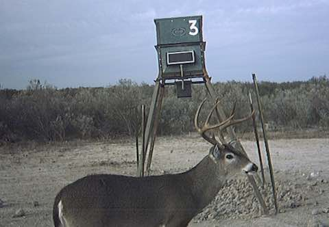Whitetail Deer at Feeder in South Texas