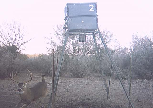 Big Whitetail Buck at El Rancho Arenosa