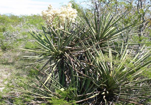 Yucca in bloom, Edwards Plateau, south Texas