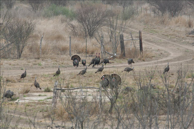 Flock of South Texas Wild Turkeys